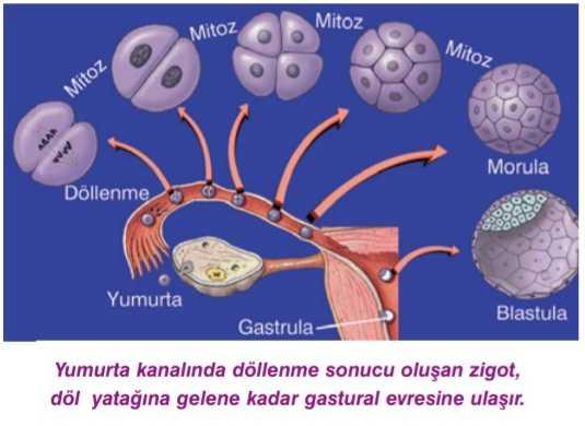 hücre-göçü-1